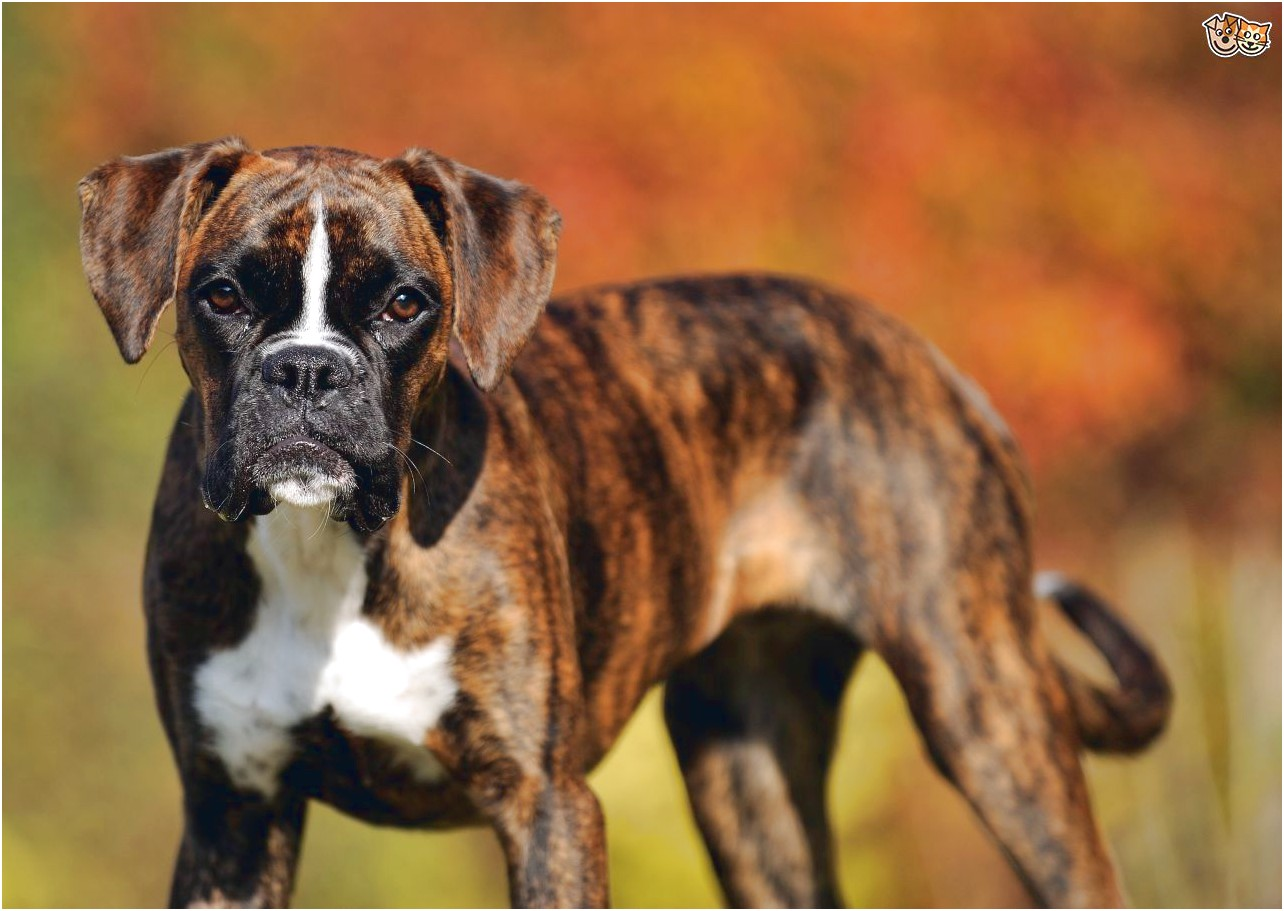 best dog food for female boxer