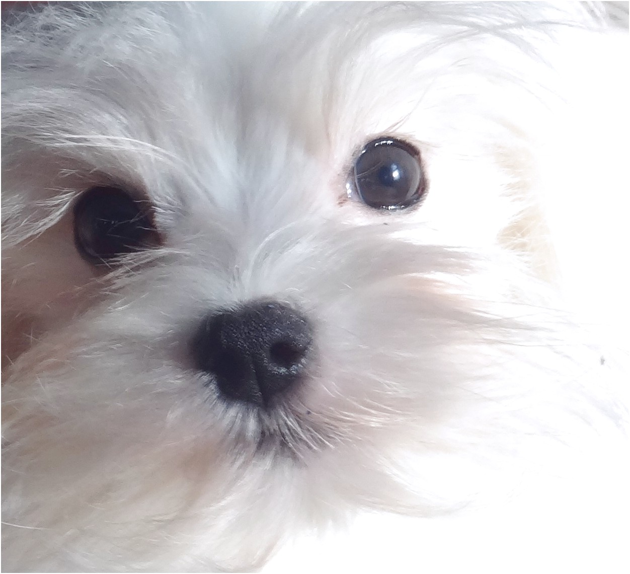 best dog food for maltese with tear stains