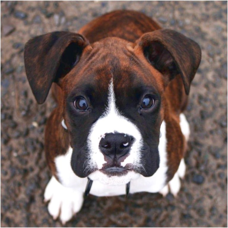 best dog food for one year old boxer