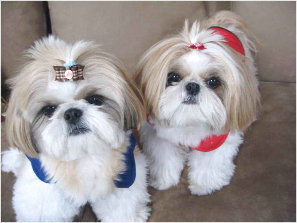 best dog food for shih tzu 2017