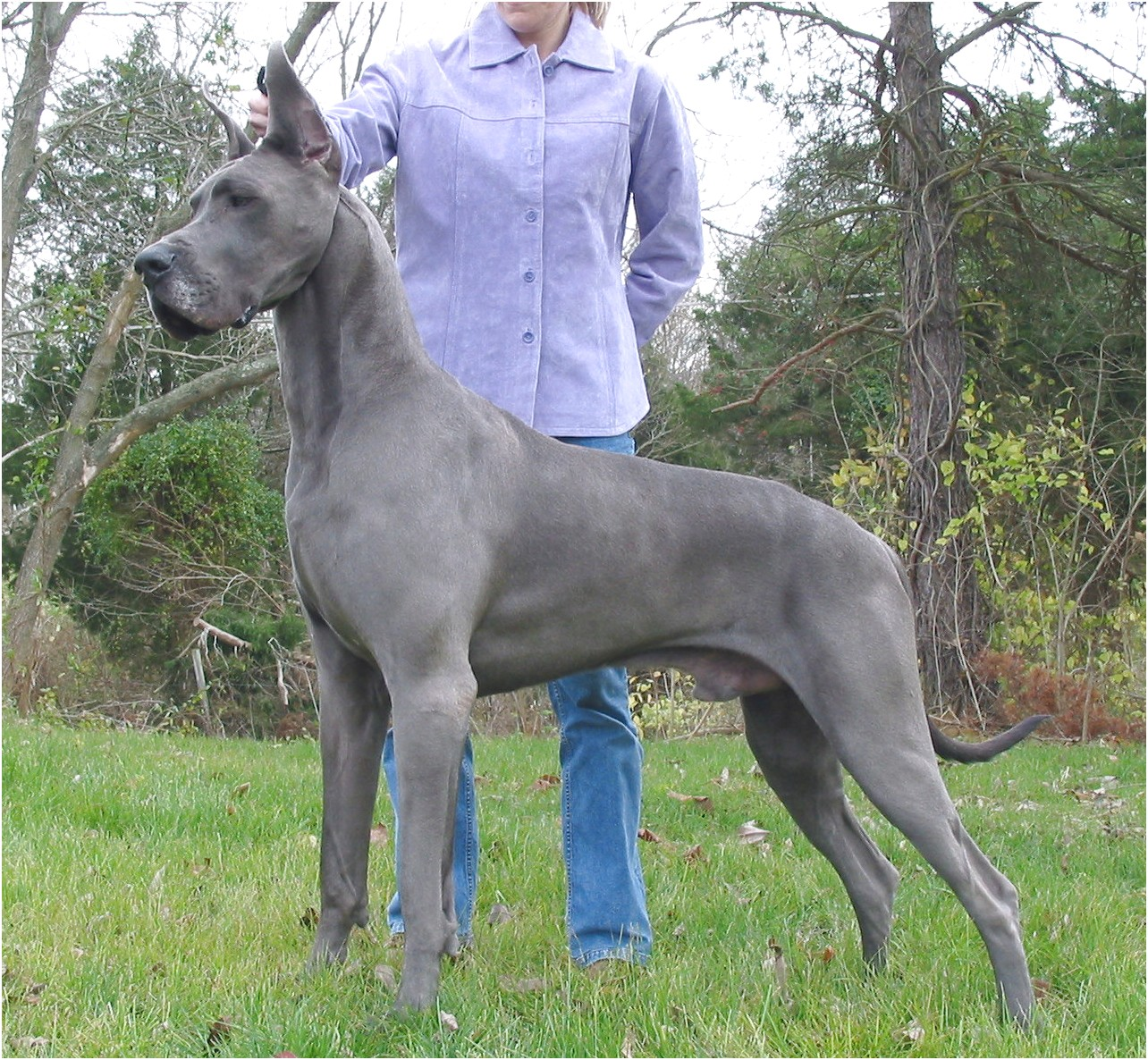 best homemade dog food for great danes