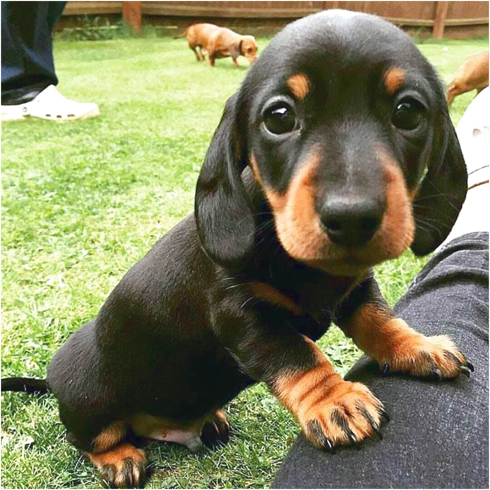 black and tan dachshund puppies for sale in nc