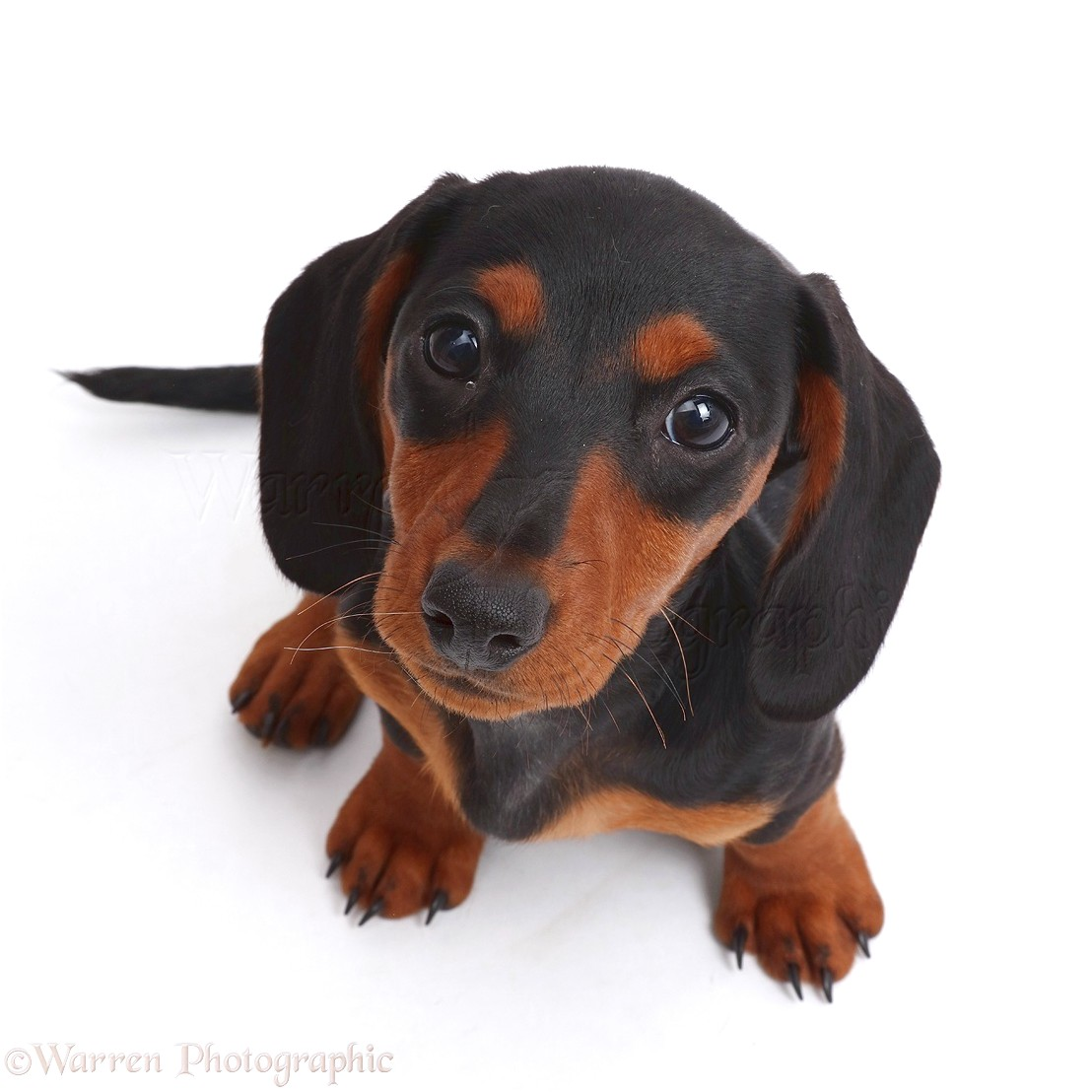 black and tan dachshund puppies for sale near me