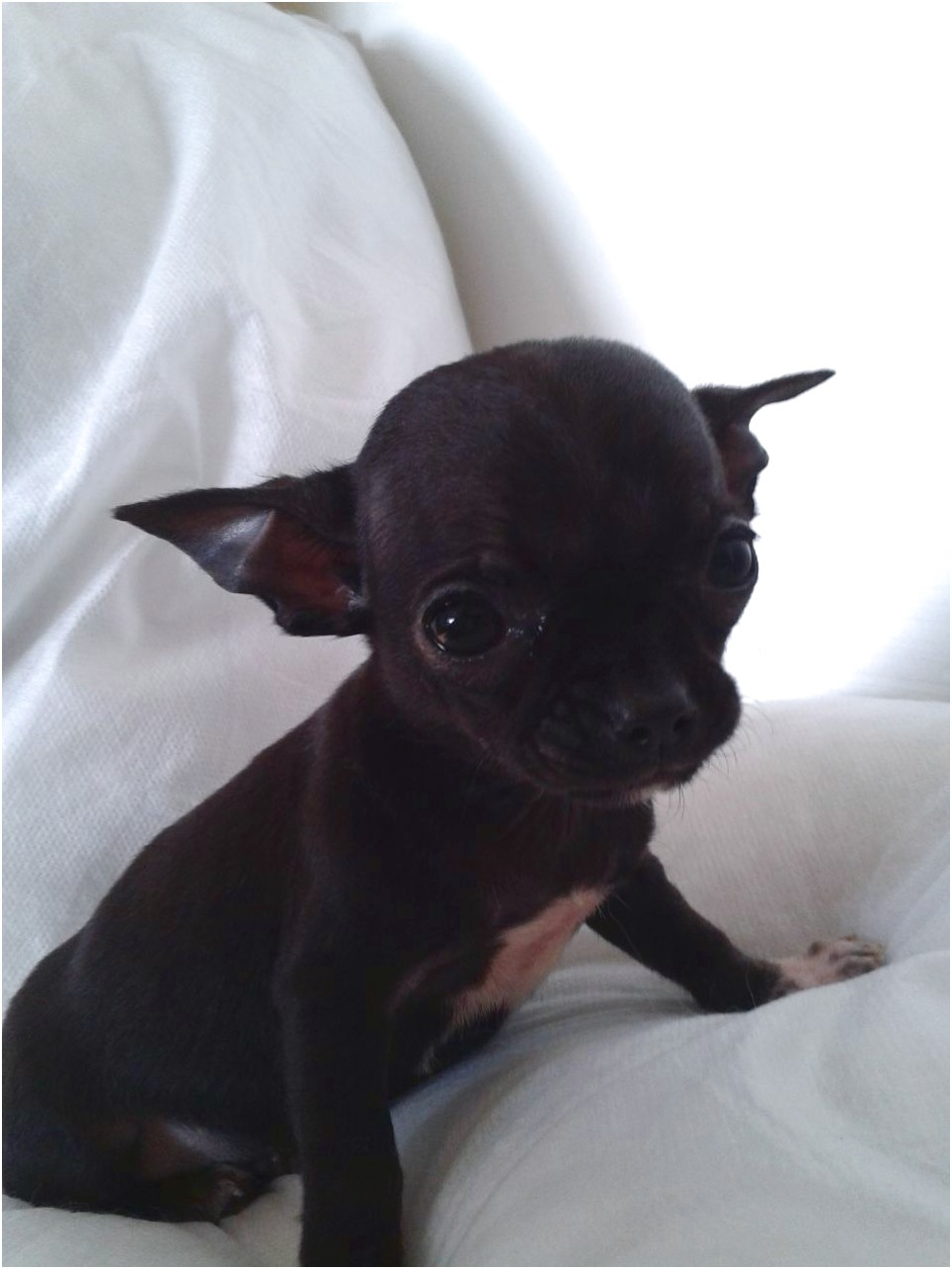 black chihuahua puppies for sale near me