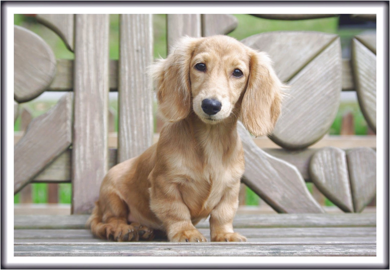 blonde dachshund puppies for sale near me