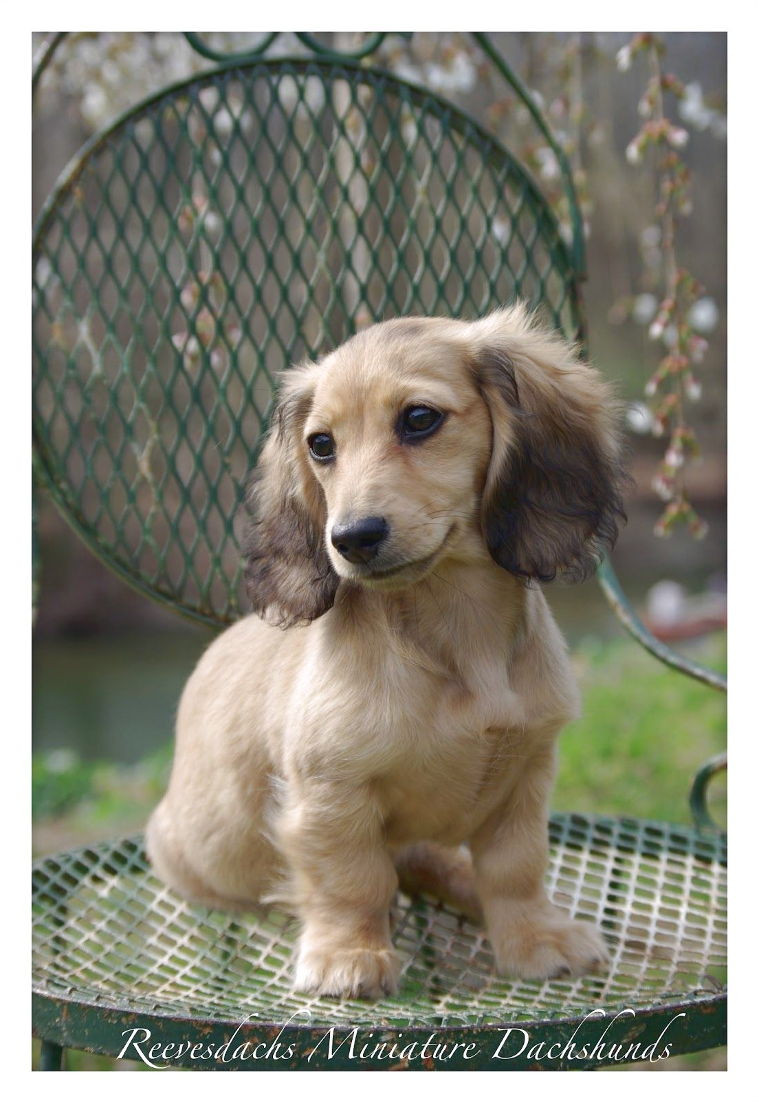 blonde long haired dachshund for sale near me