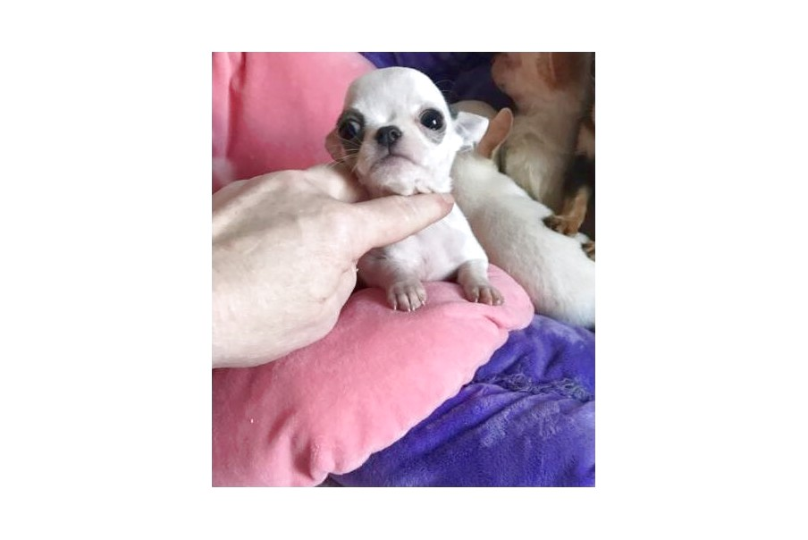 blue applehead chihuahua puppies for sale near me