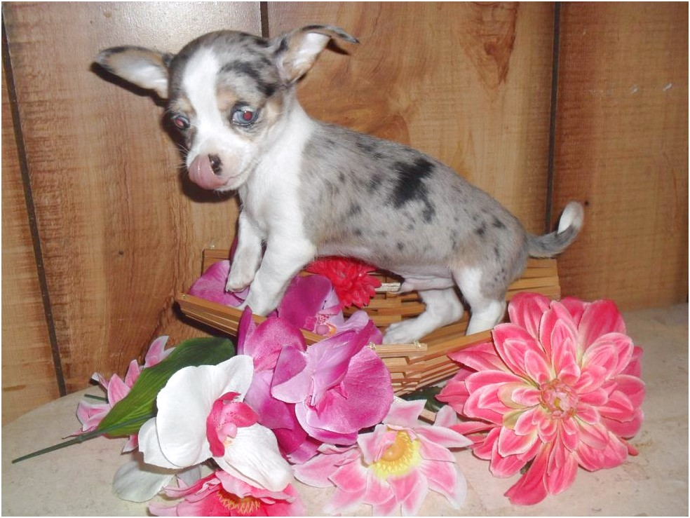 blue chihuahua puppies for sale in nc