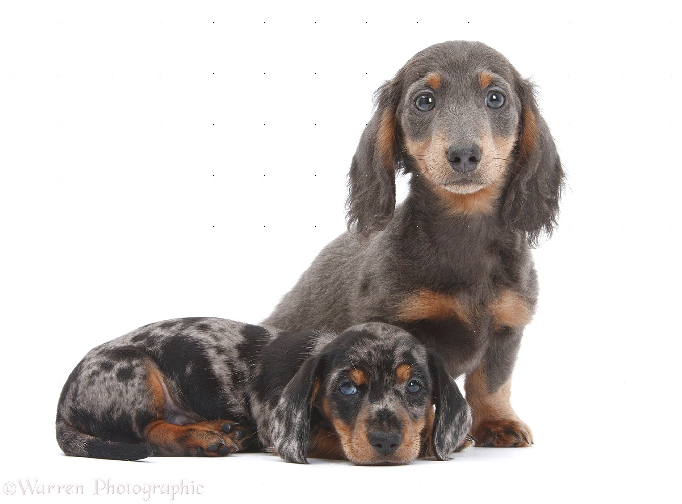 blue dachshund puppies for sale near me