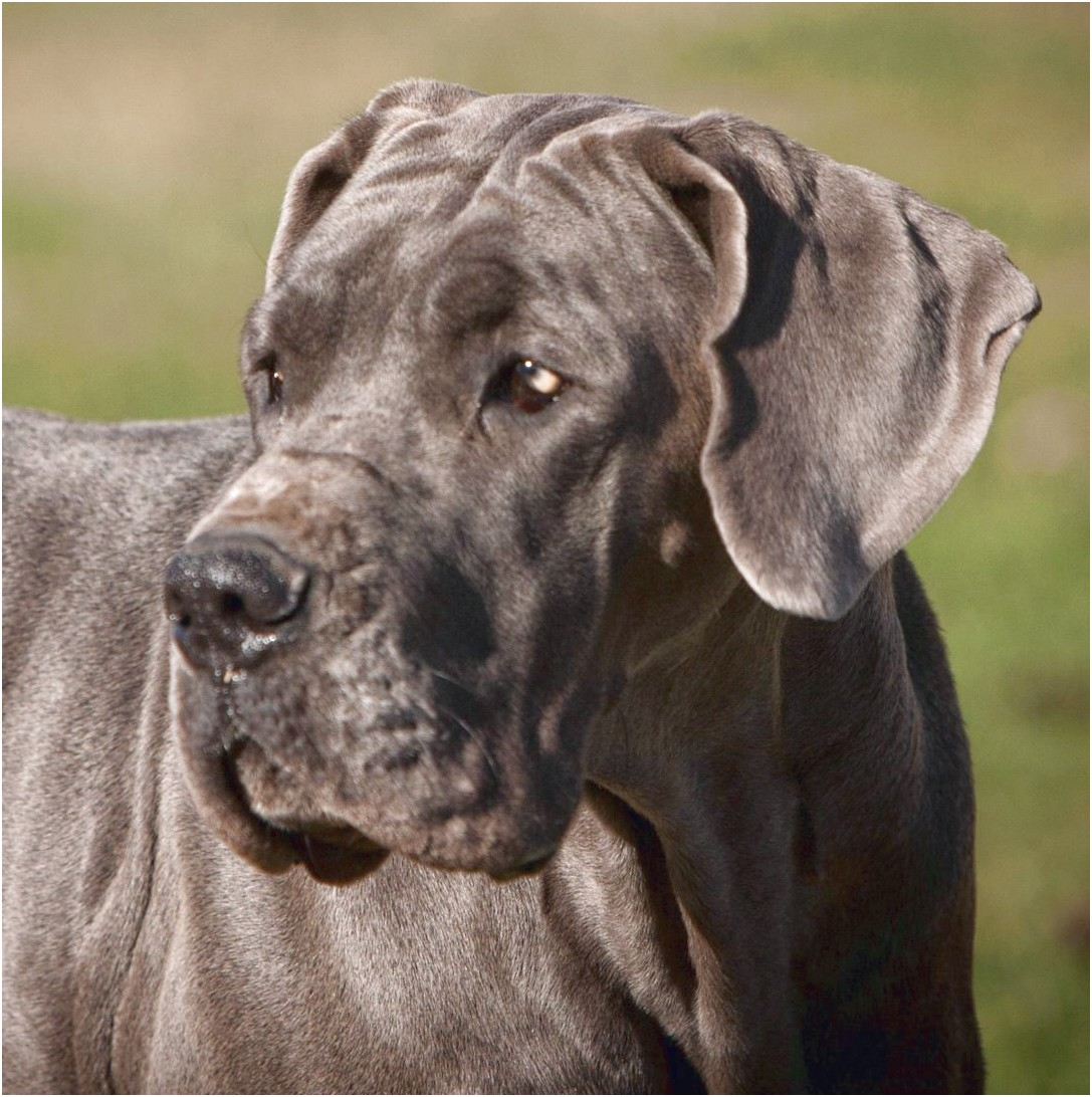 blue great dane puppies for sale illinois