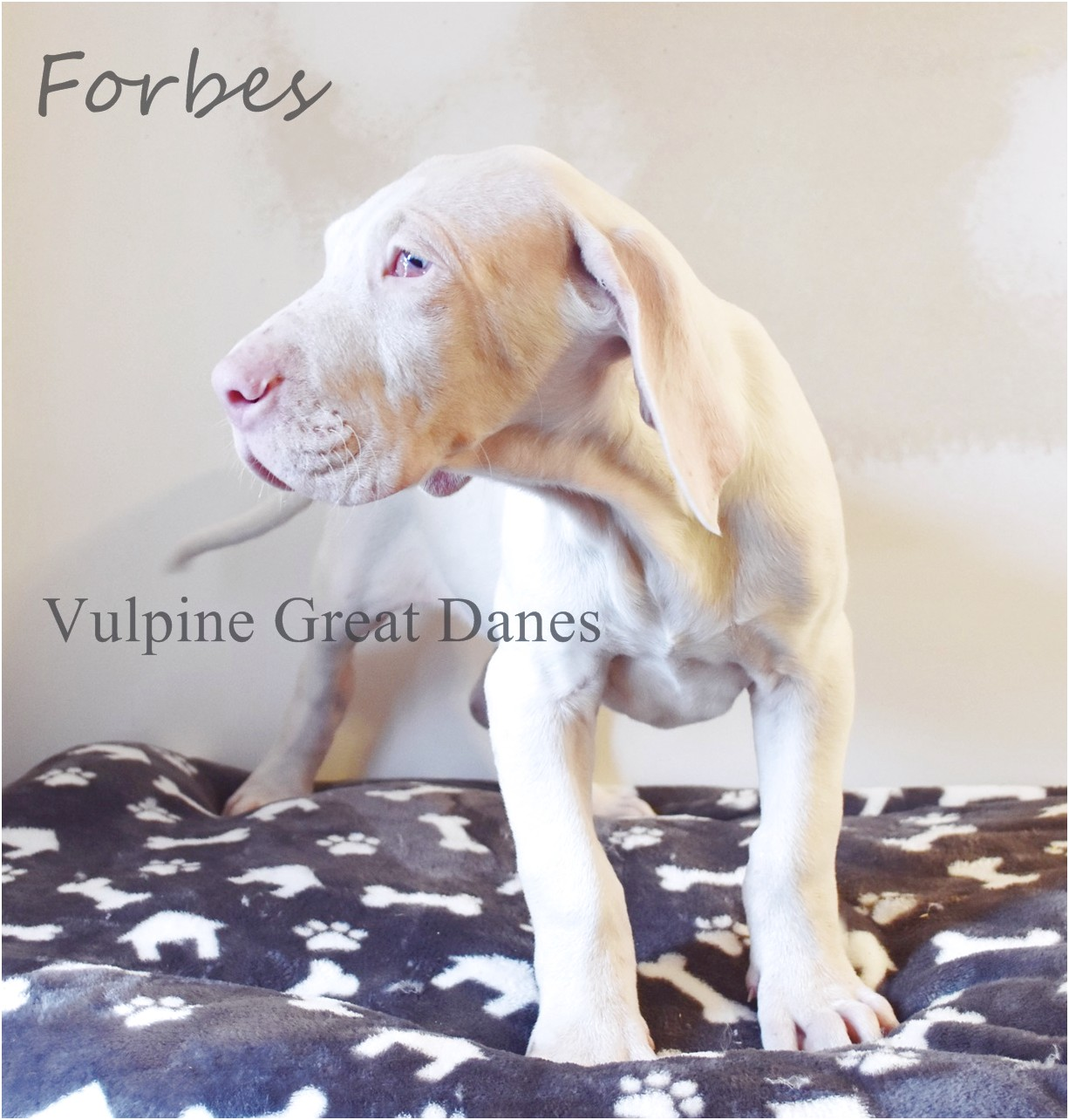 blue great dane puppies for sale in california