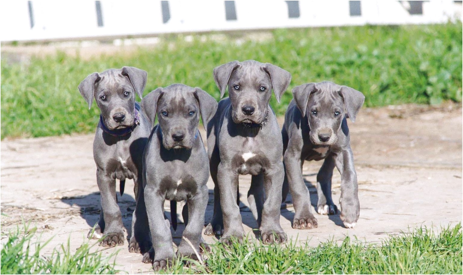 blue great dane puppies for sale nj