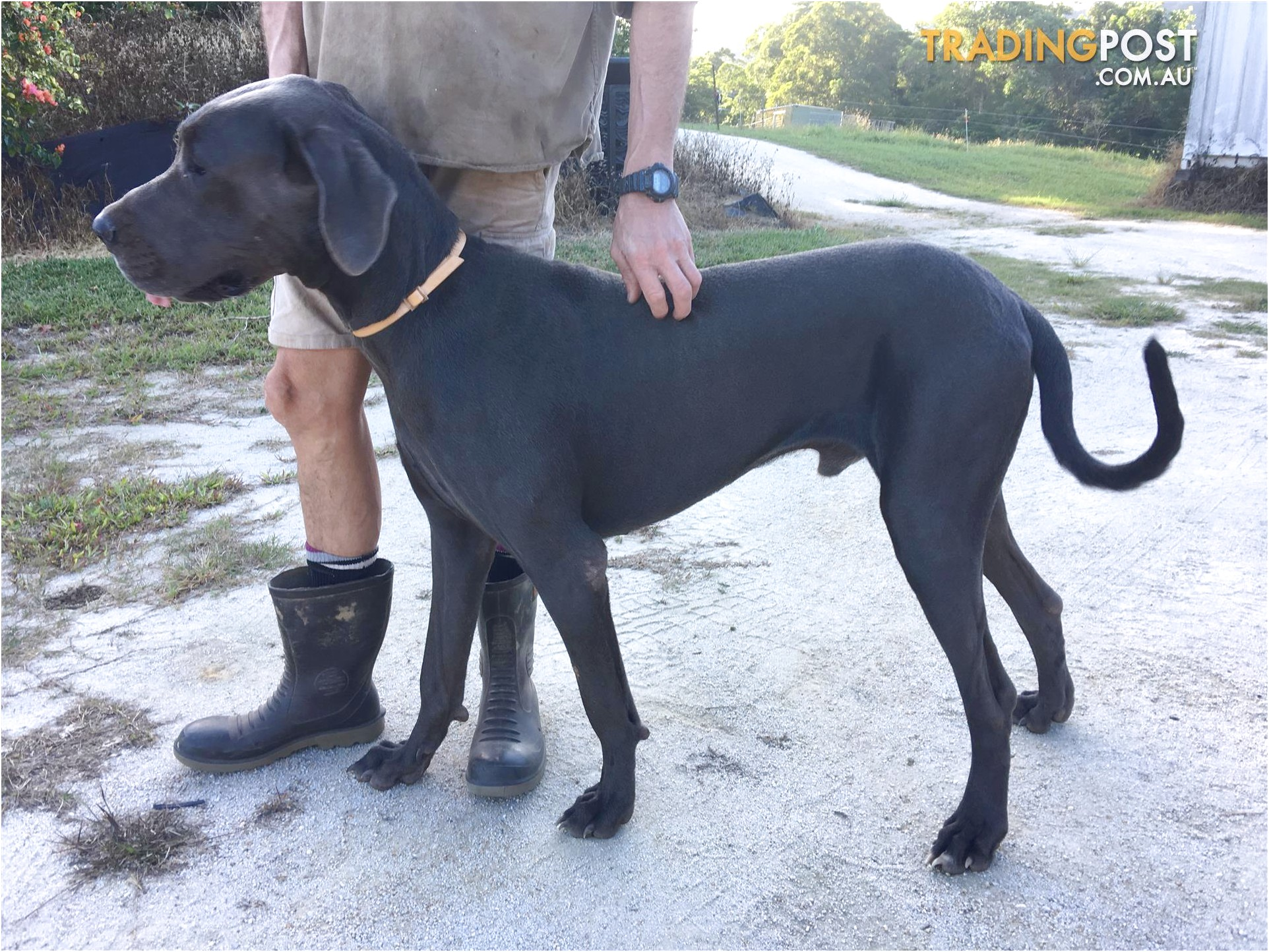 blue great dane puppies for sale qld