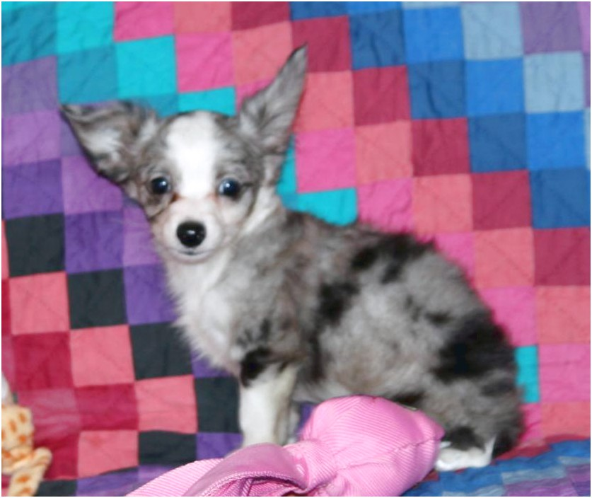 blue merle chihuahua puppies for sale in ohio
