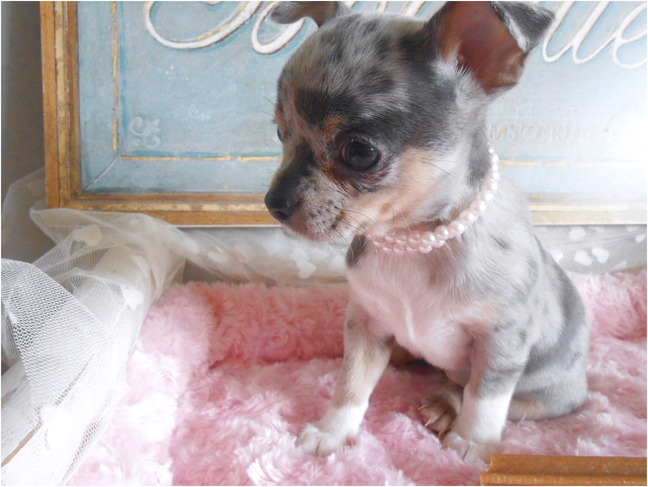 blue merle chihuahua puppies for sale near me