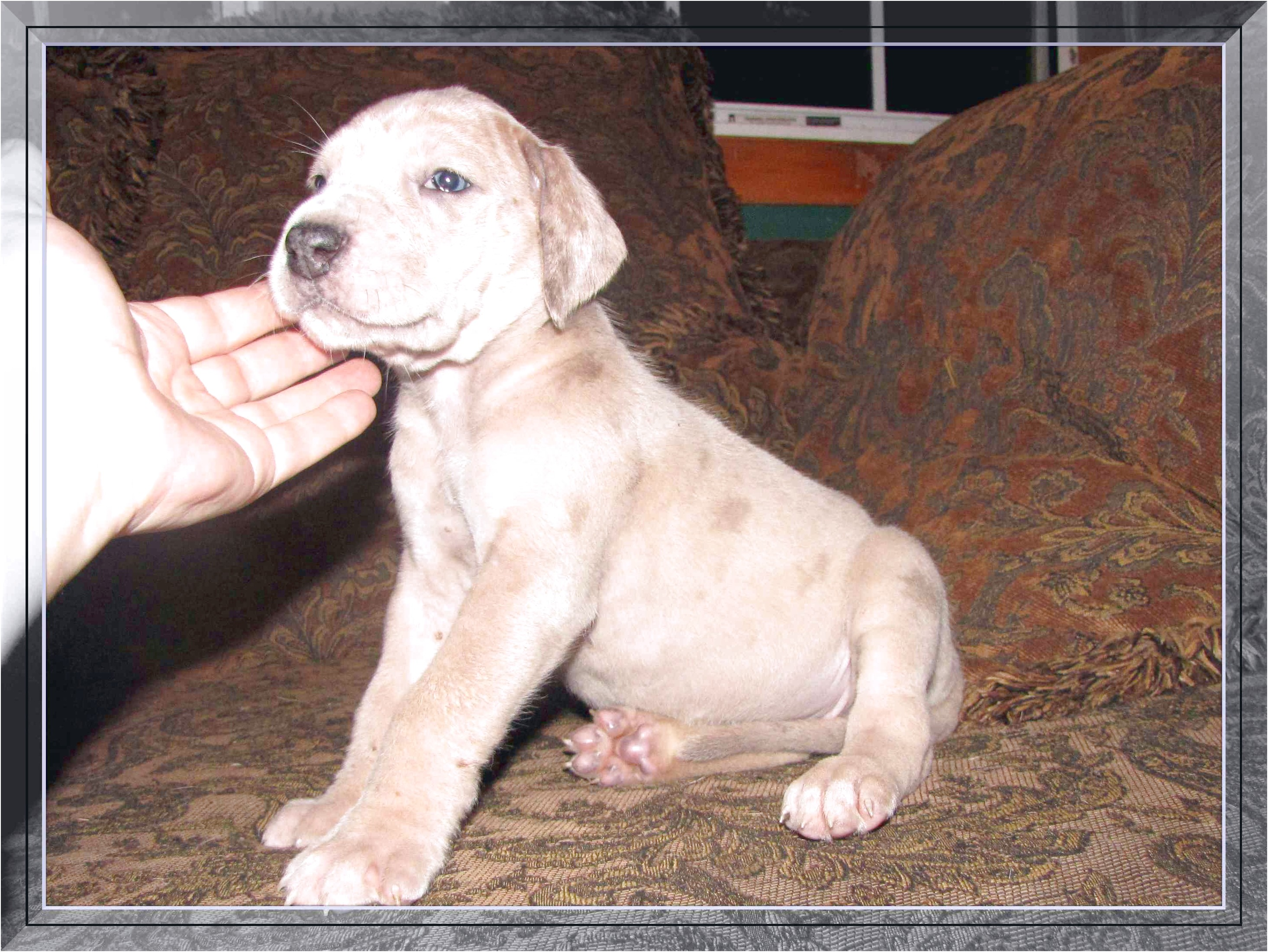 blue merle great dane puppies for sale california