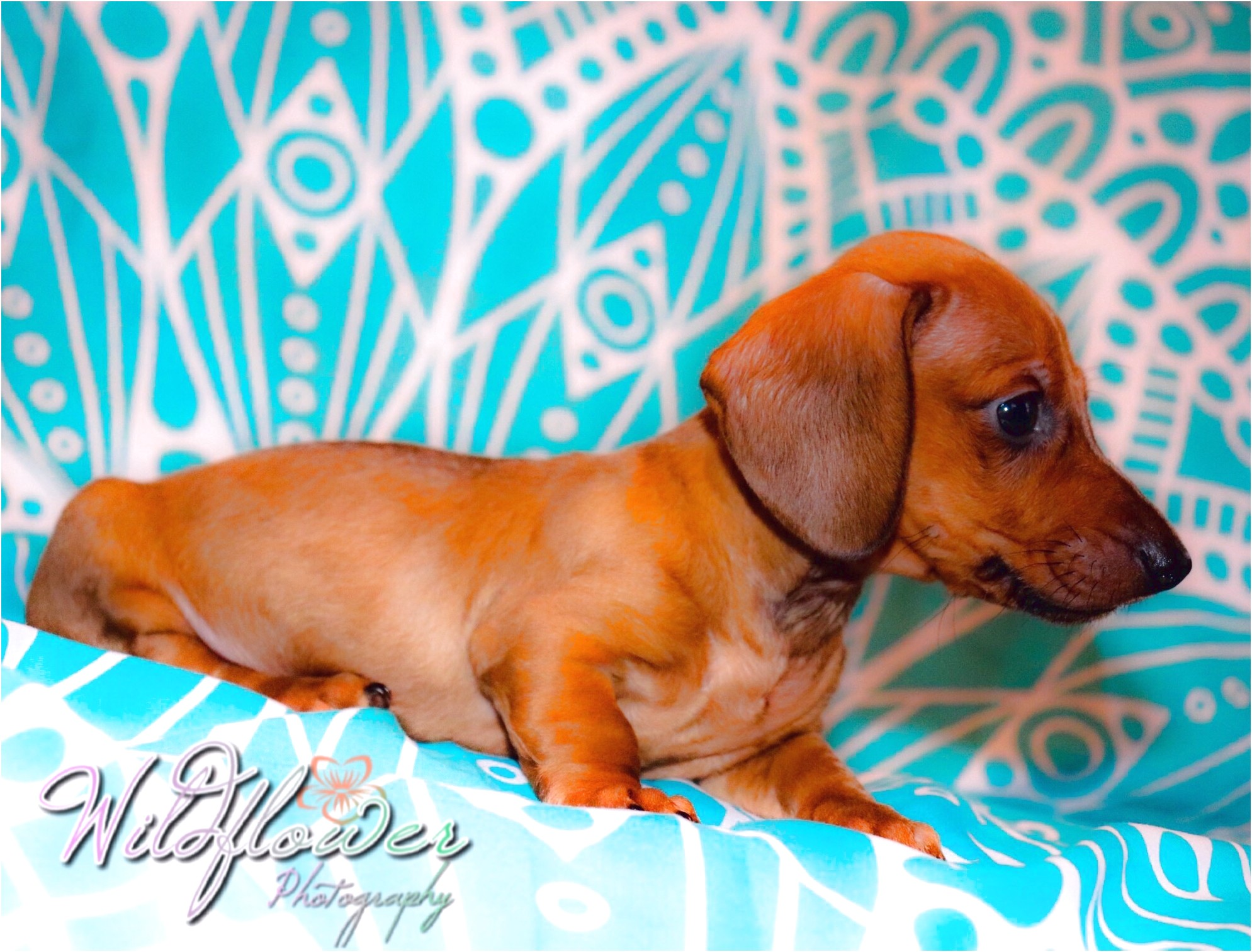 blue miniature dachshund puppies for sale in nc