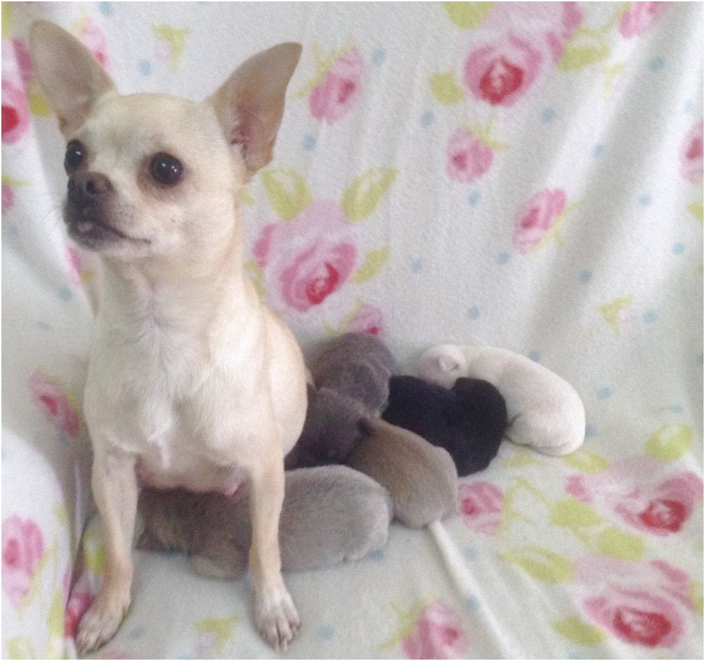 blue smooth coat chihuahua puppies for sale uk