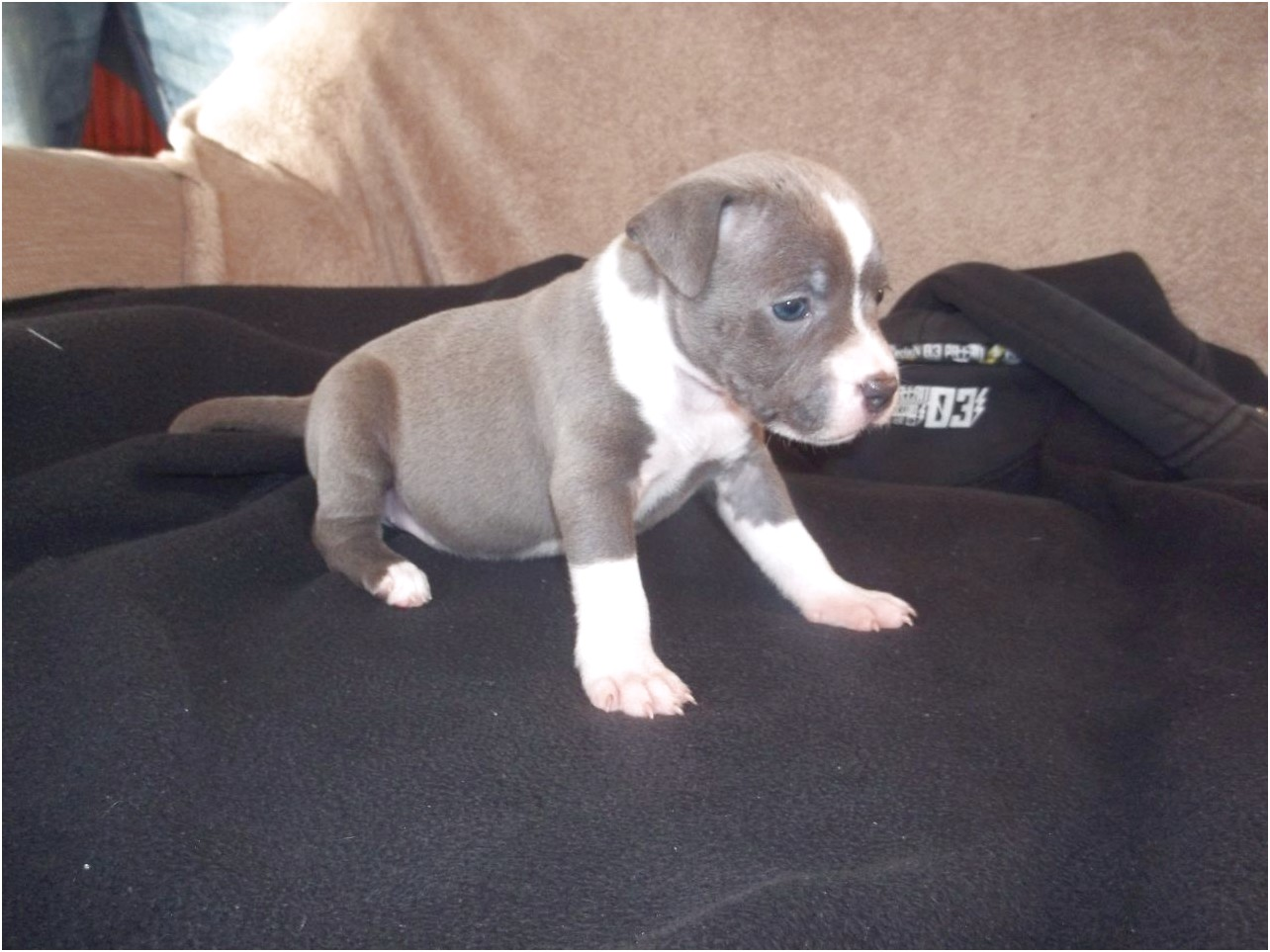 blue staffordshire bull terrier puppies for sale yorkshire