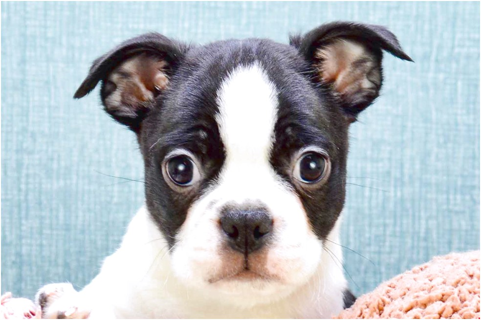 Boston Terrier Chihuahua Mix Puppies For Sale In Ohio