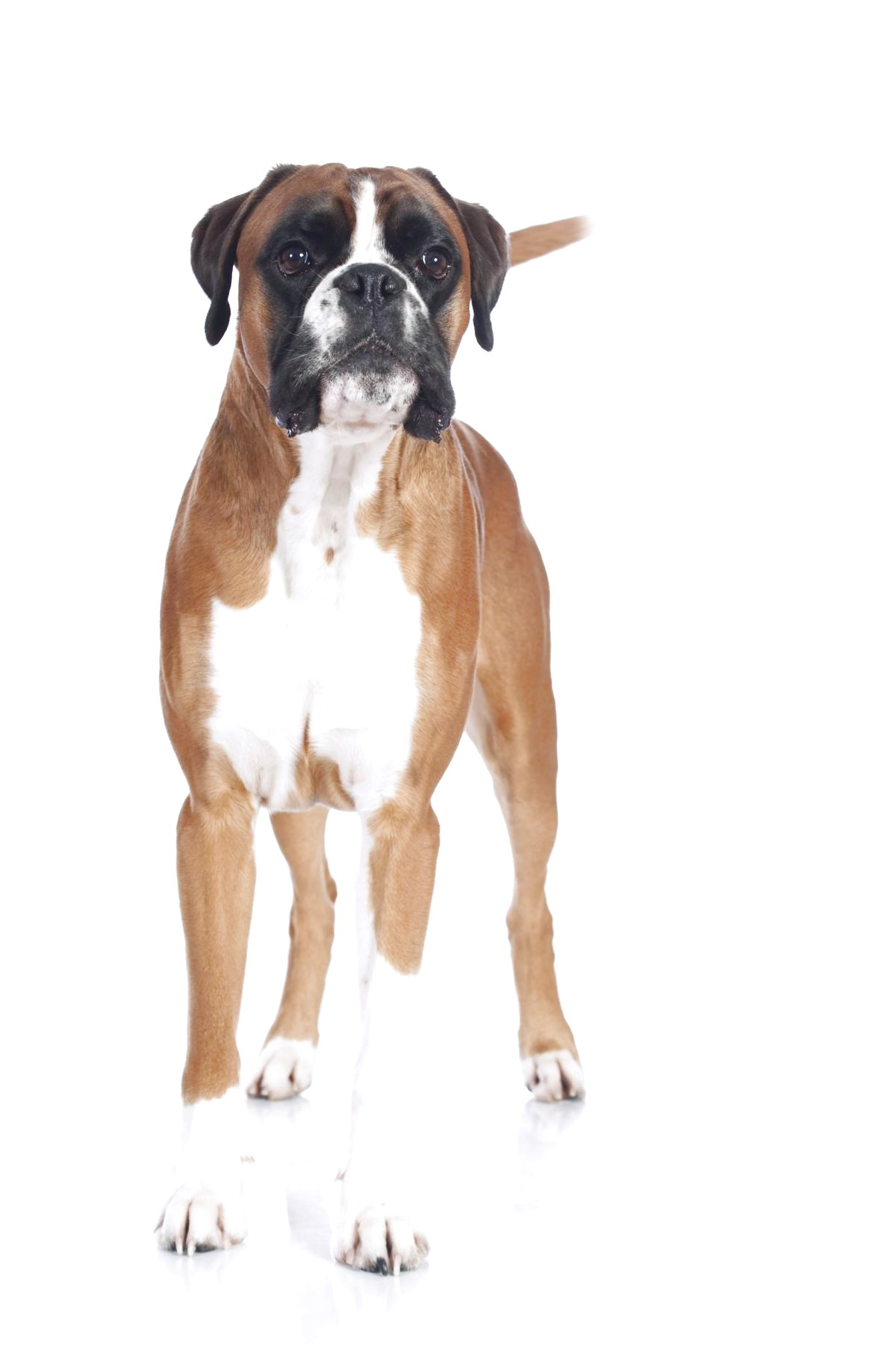 boxer x great dane puppies for sale