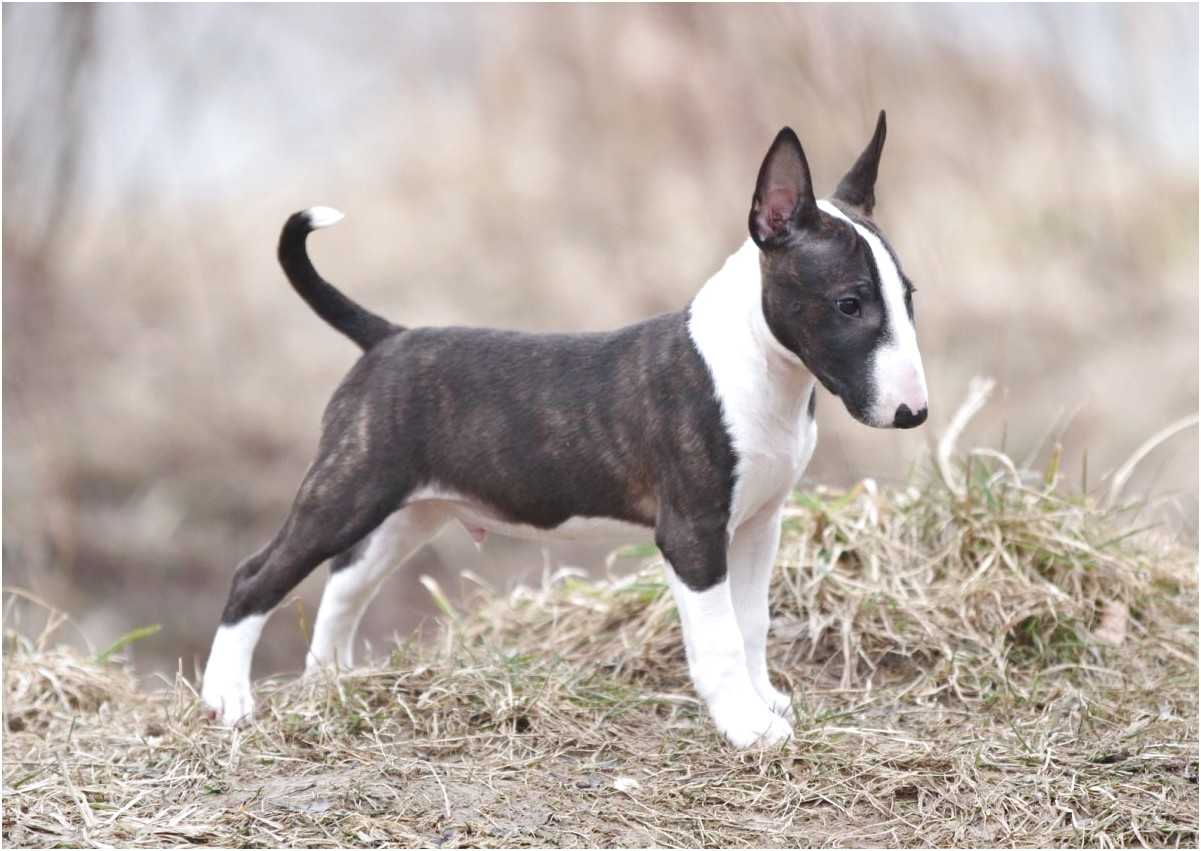 bull terrier average price