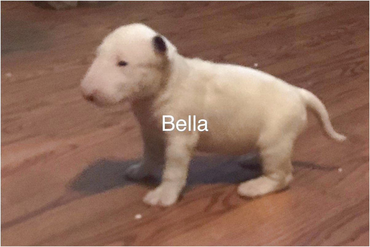 bull terrier breeders prices