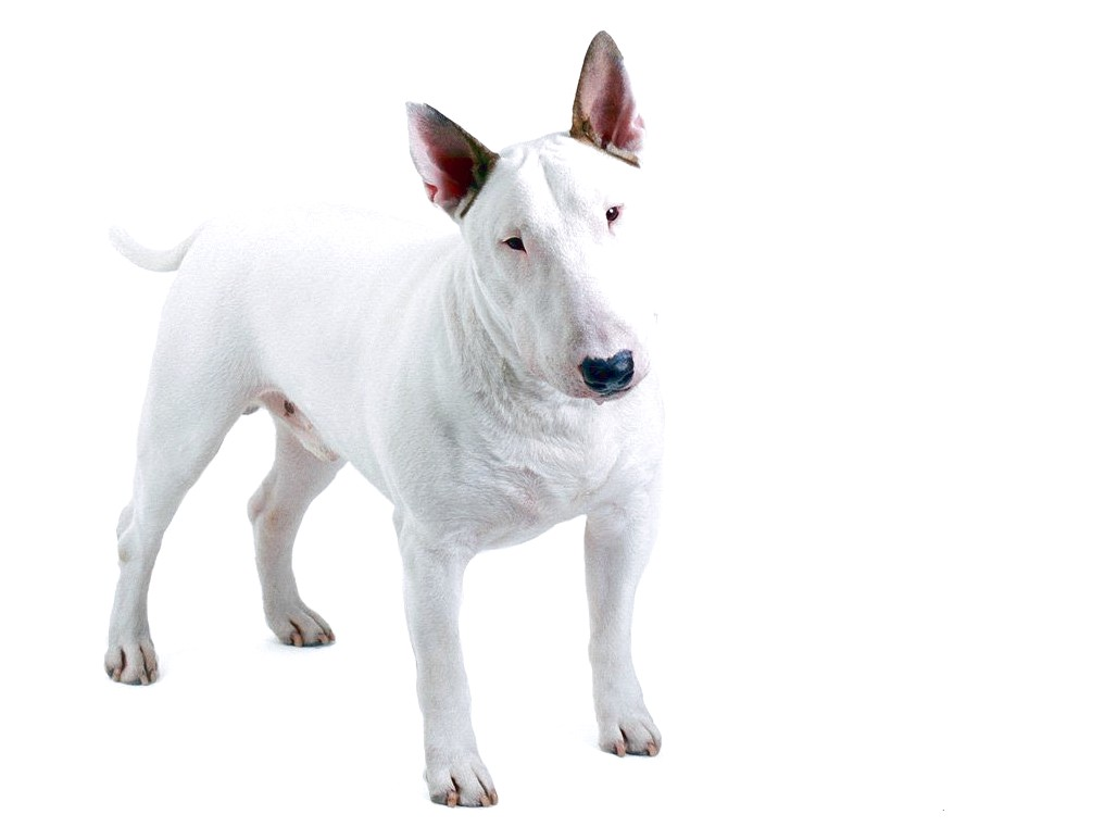 bull terrier dog price