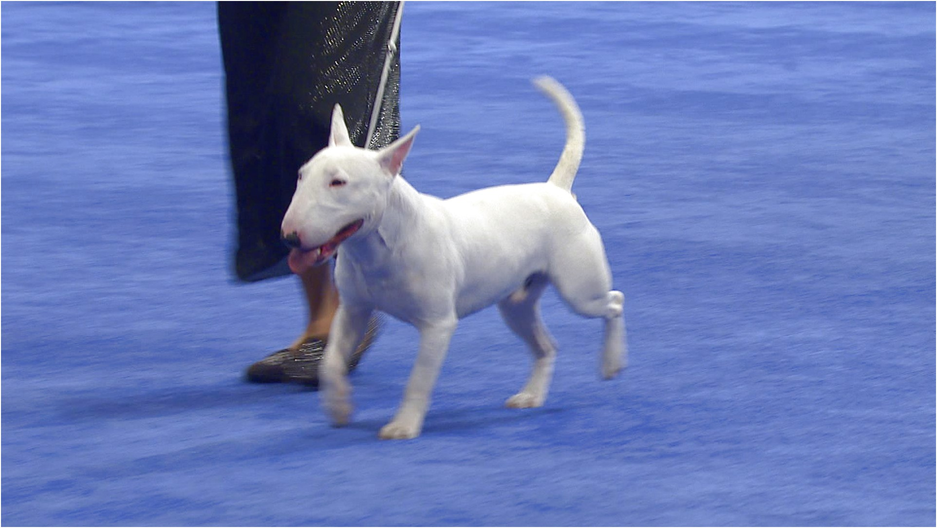 bull terrier price usa