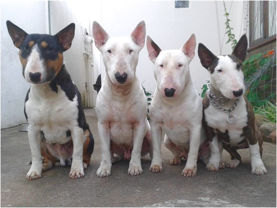 bull terrier prices usa