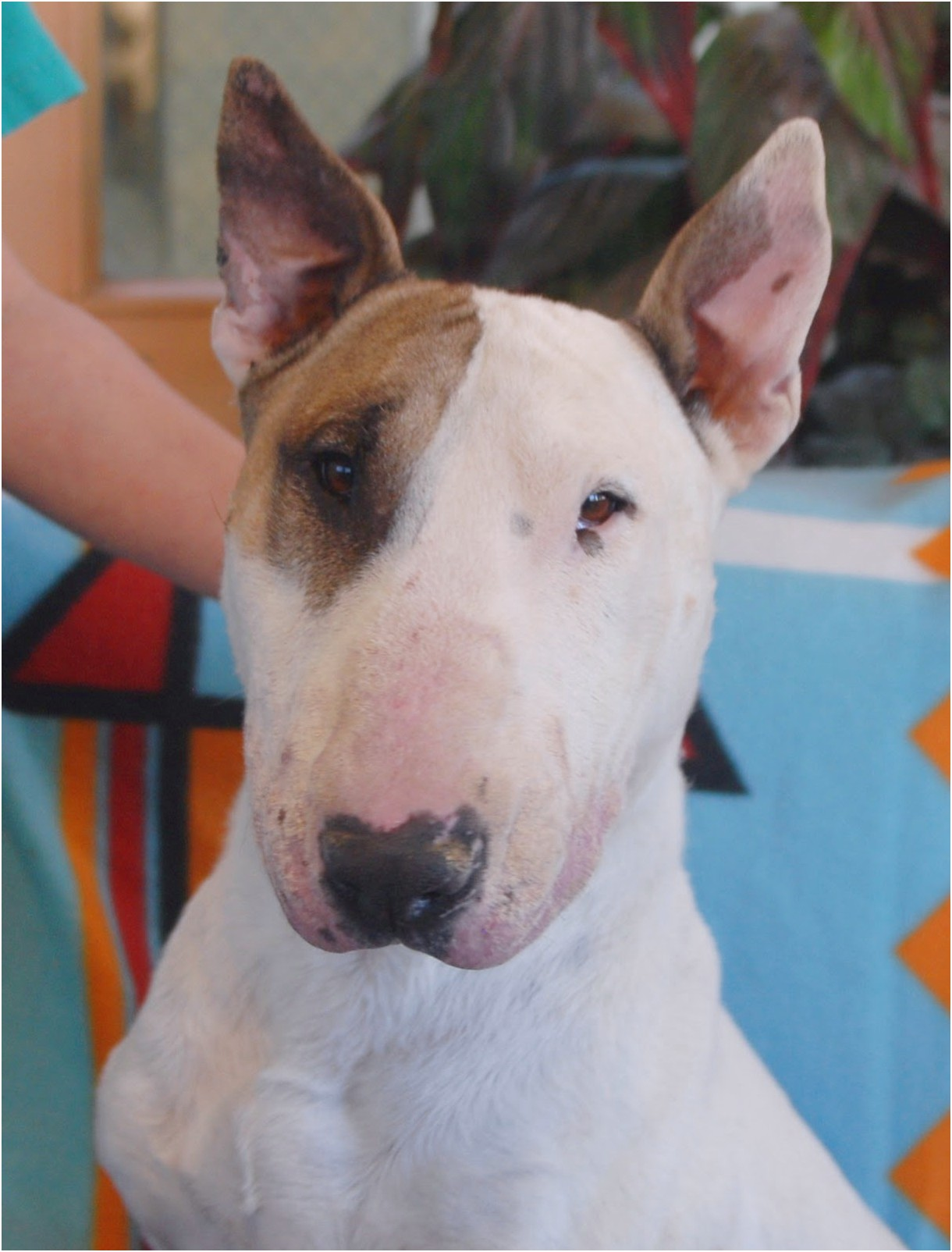 bull terrier puppies for rescue