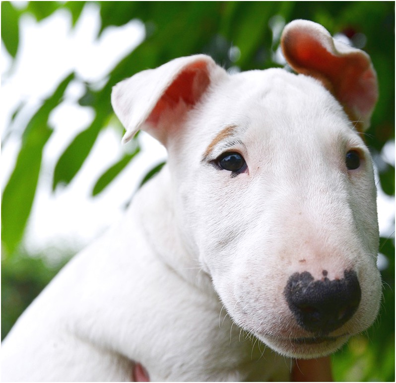 bull terrier puppies for sale bc