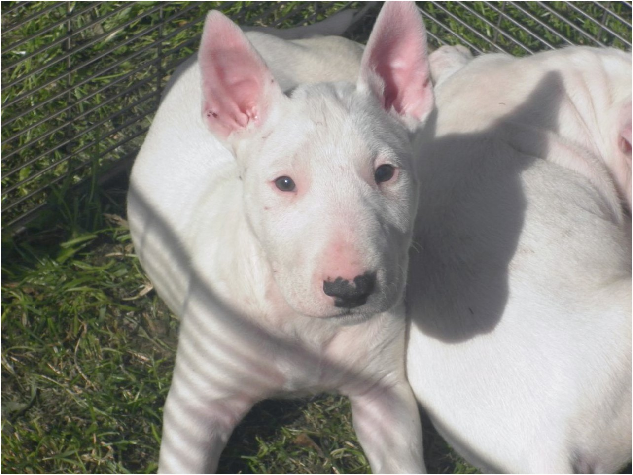 bull terrier puppies for sale breeders