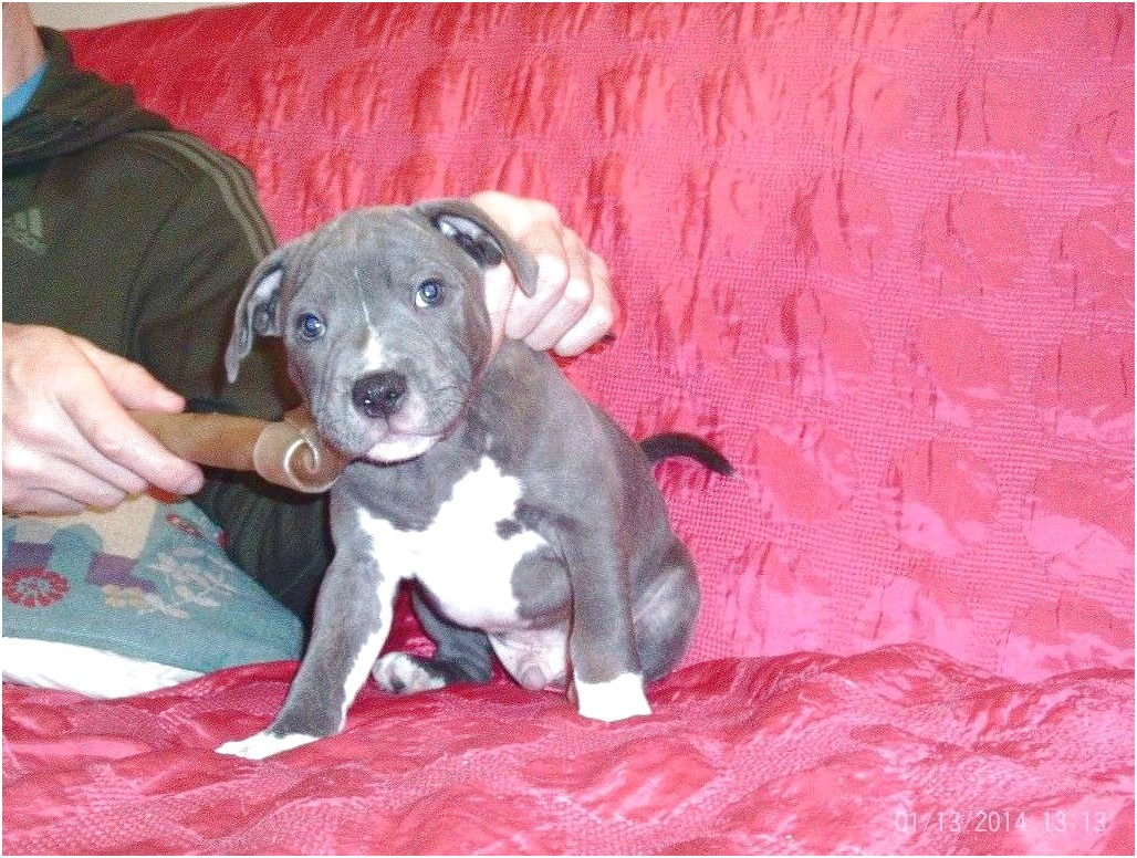 bull terrier puppies for sale facebook