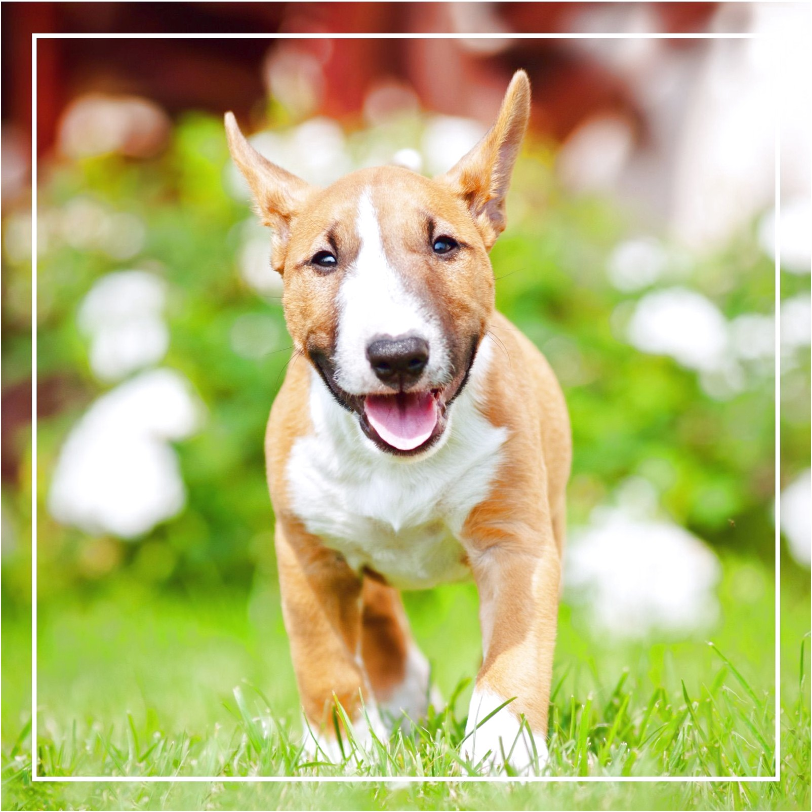 bull terrier puppies for sale florida