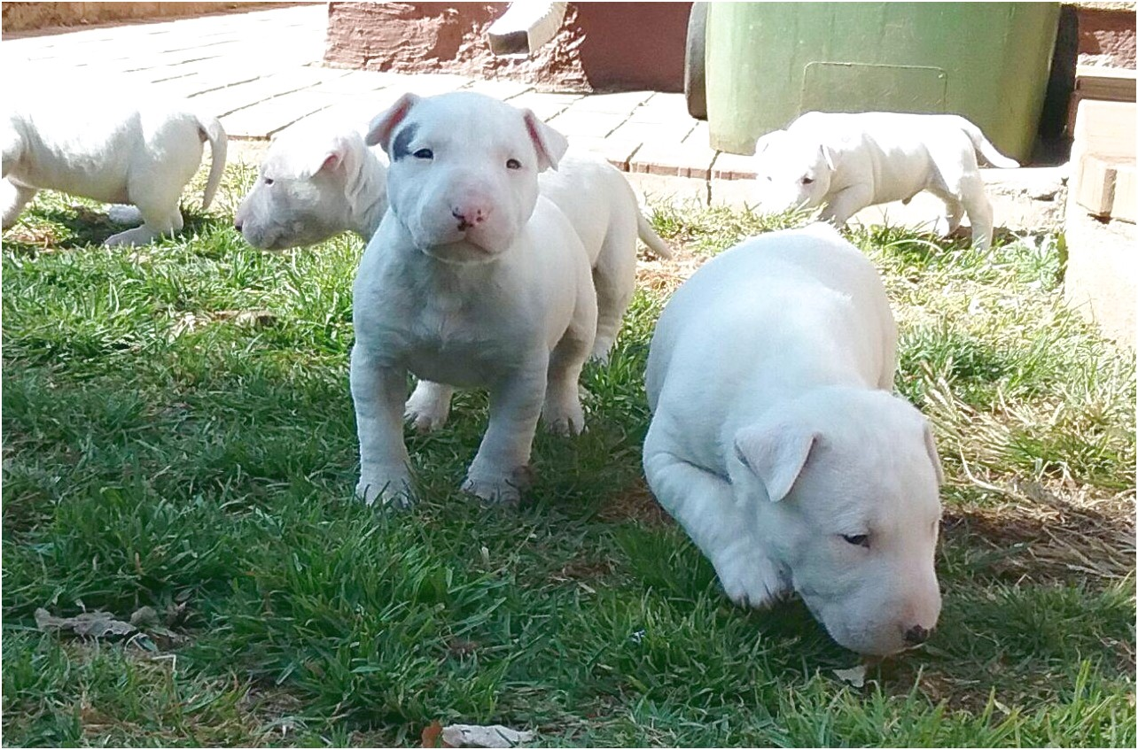 bull terrier puppies for sale gauteng 2018