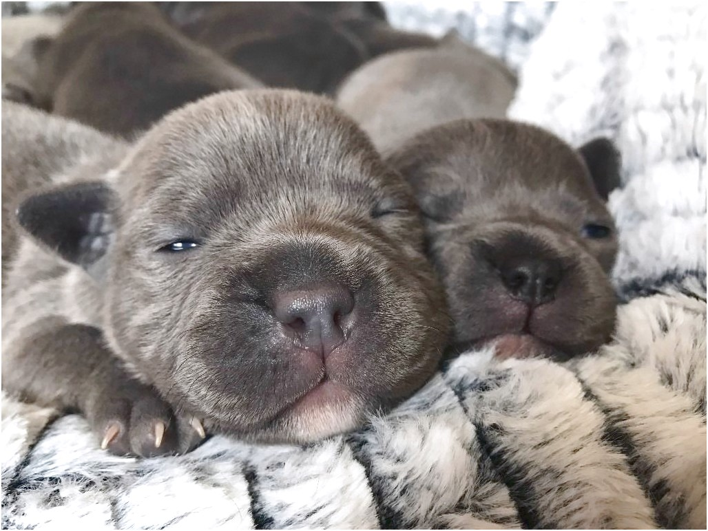 bull terrier puppies for sale glasgow