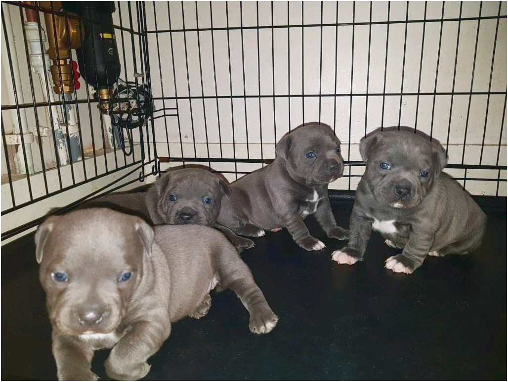bull terrier puppies for sale hull
