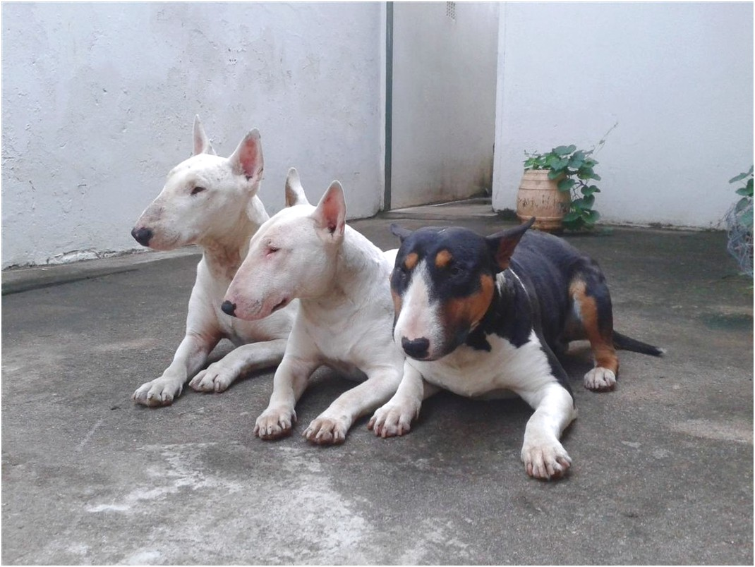 bull terrier puppies for sale in richards bay