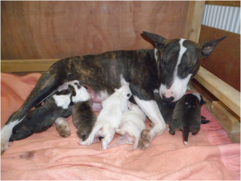 bull terrier puppies for sale kent