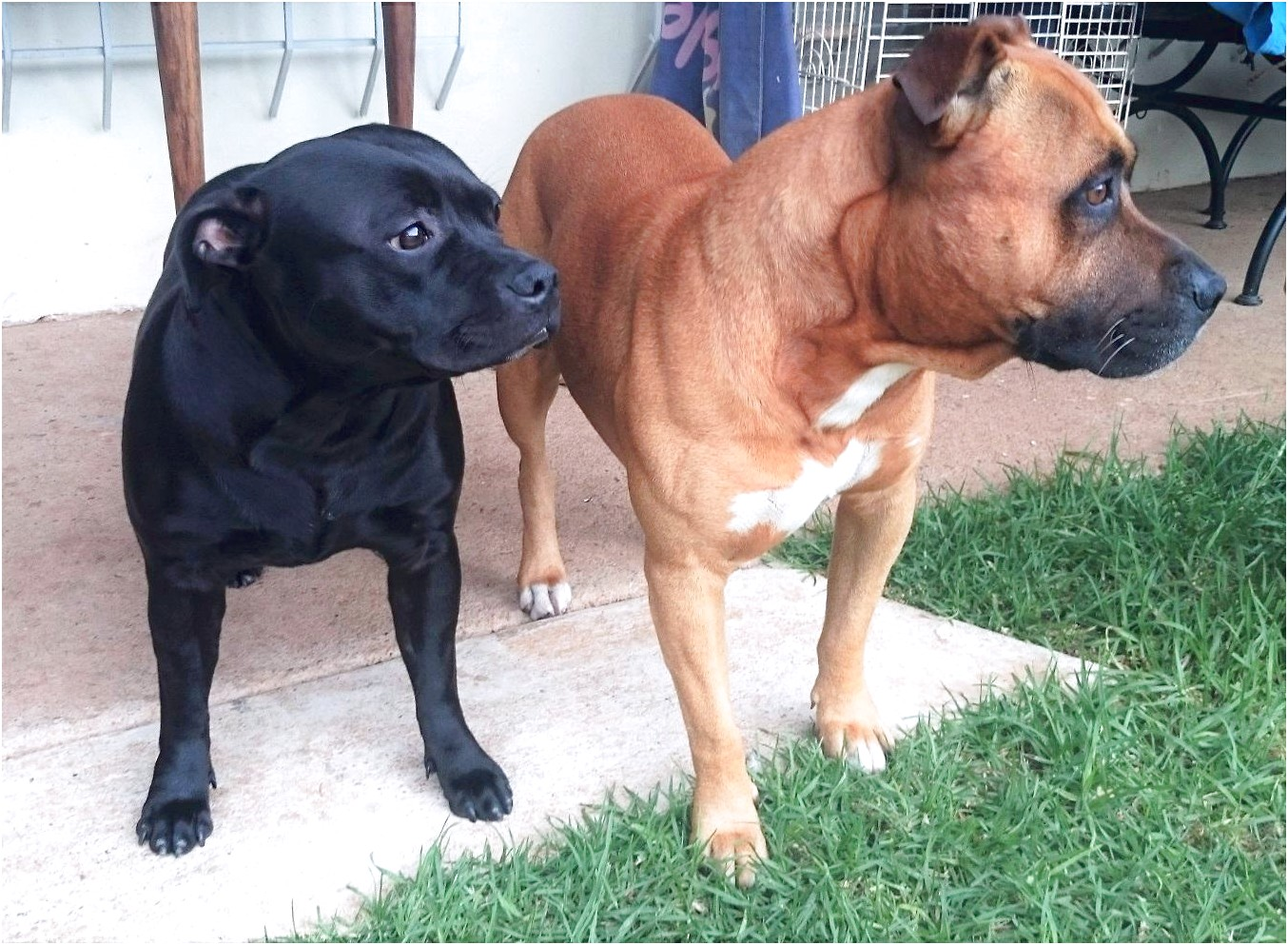 bull terrier puppies for sale krugersdorp