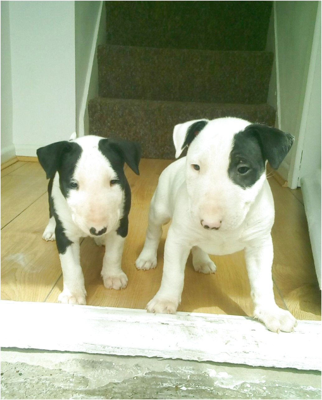 bull terrier puppies for sale leeds