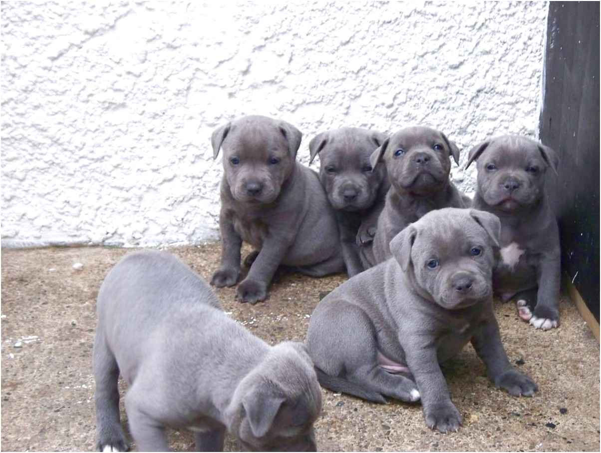 bull terrier puppies for sale los angeles
