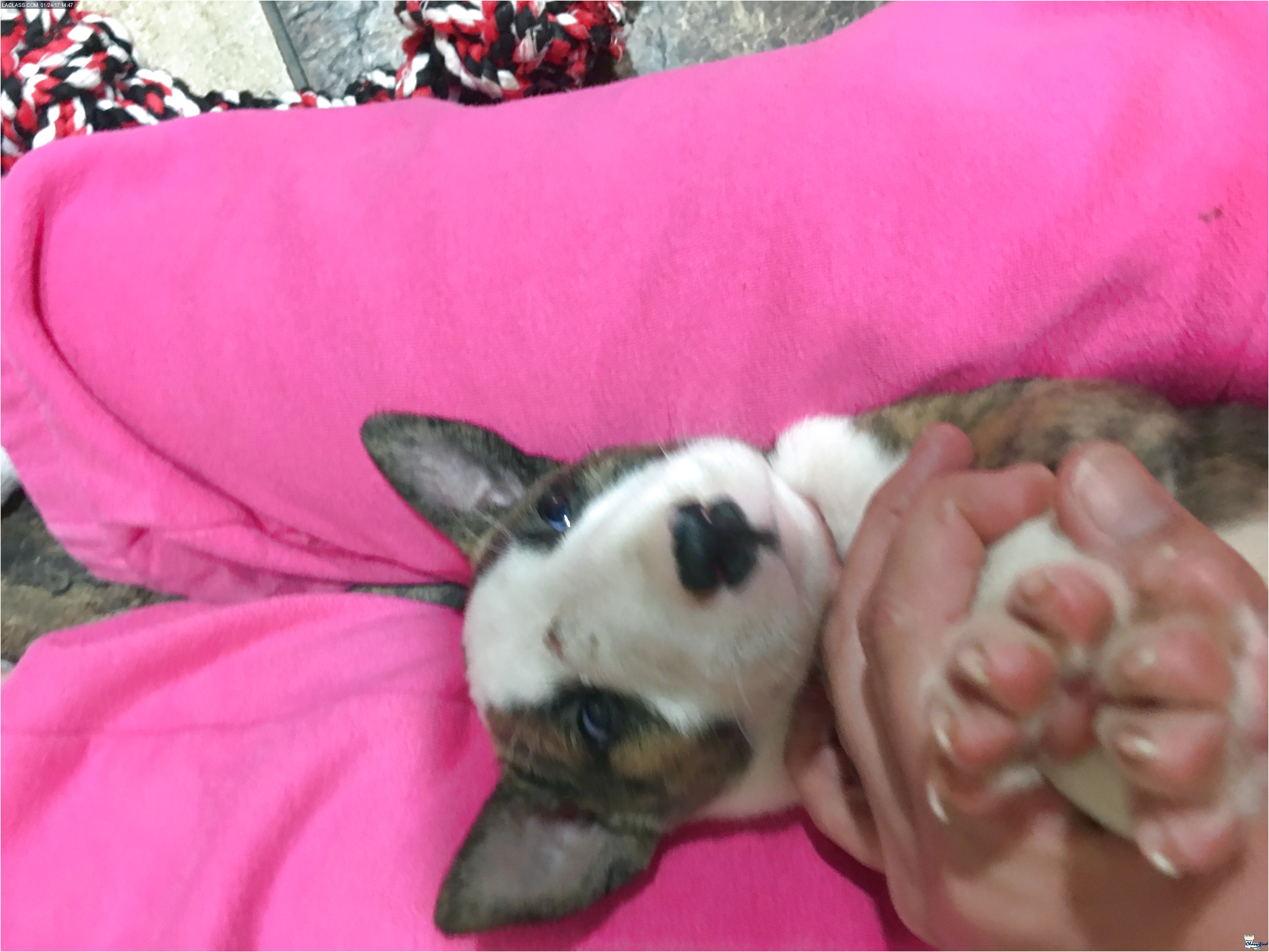 bull terrier puppies for sale louisiana