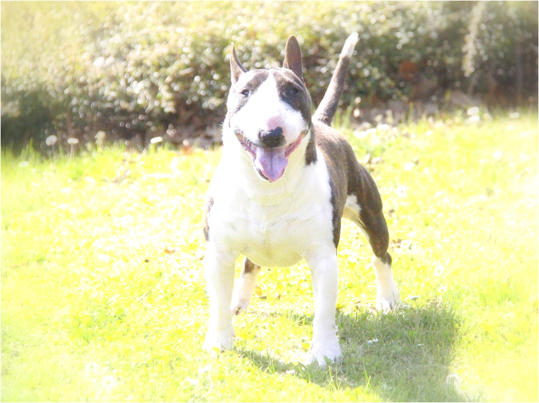 bull terrier puppies for sale new jersey