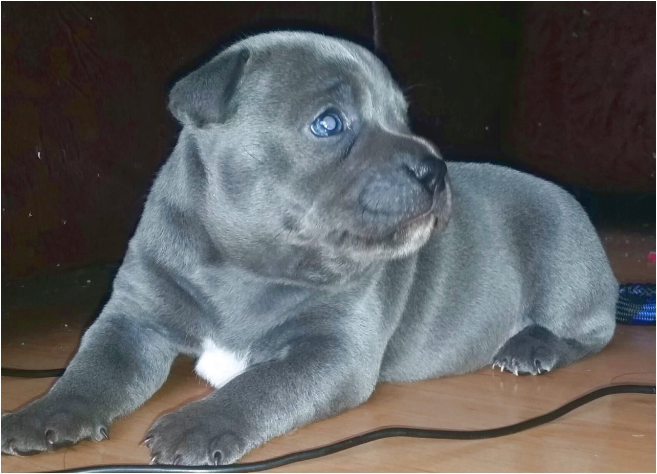 bull terrier puppies for sale newcastle
