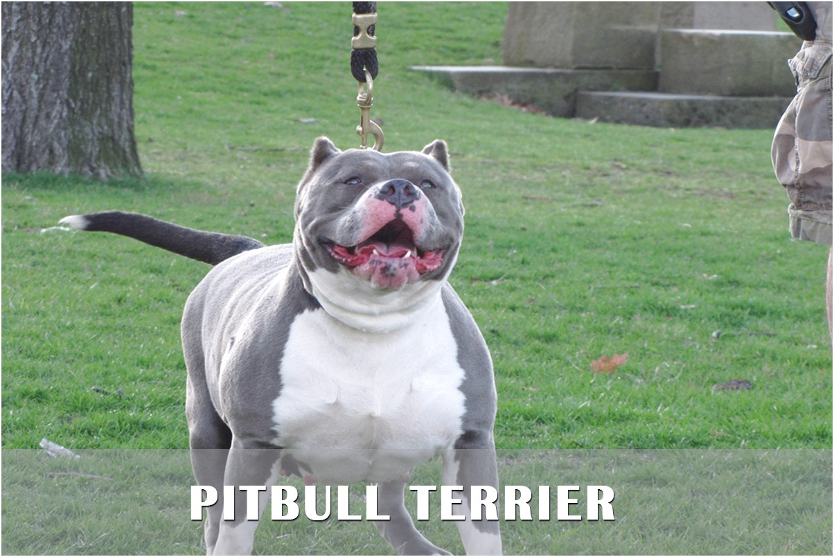 bull terrier puppies for sale ny