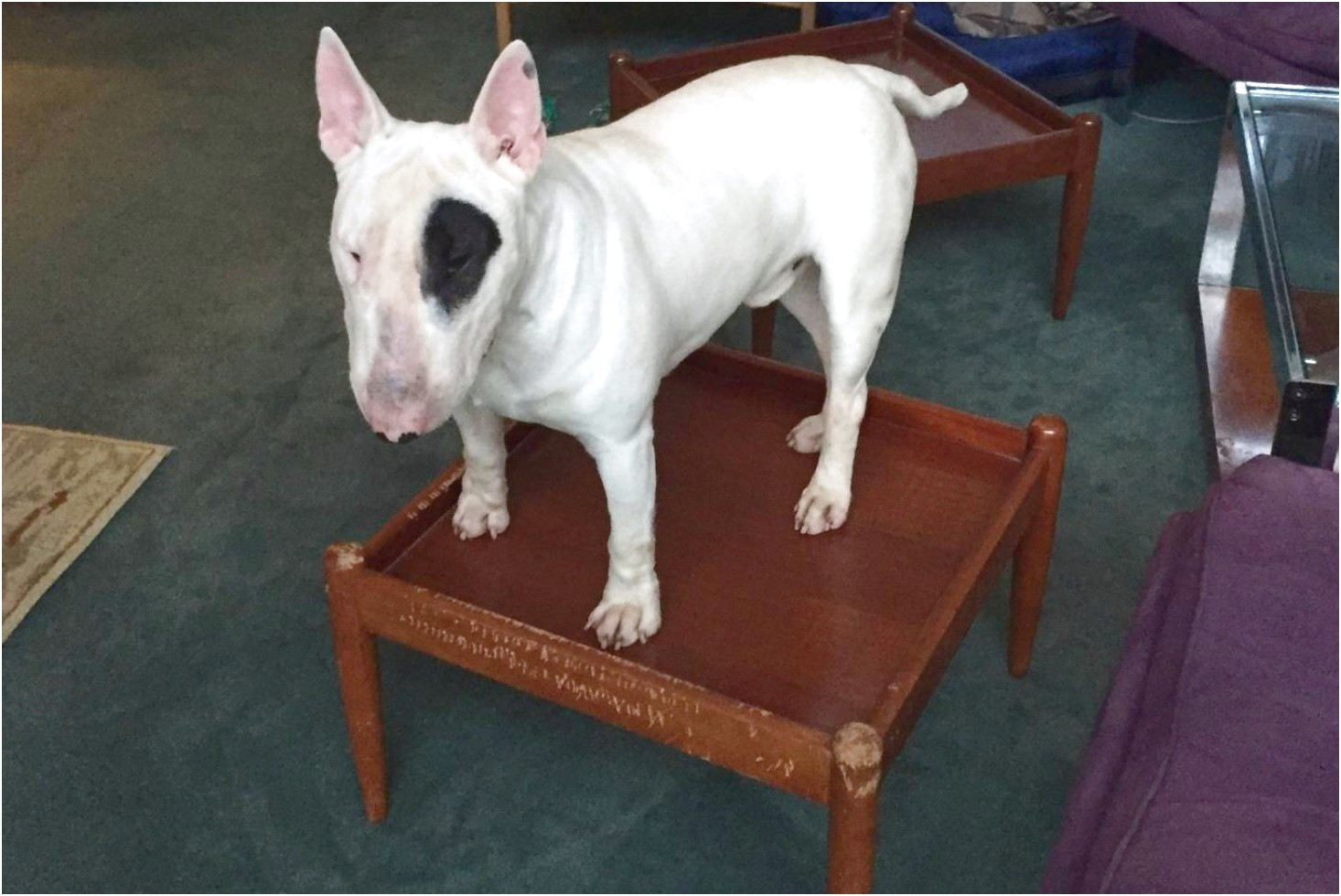 bull terrier puppies for sale nz