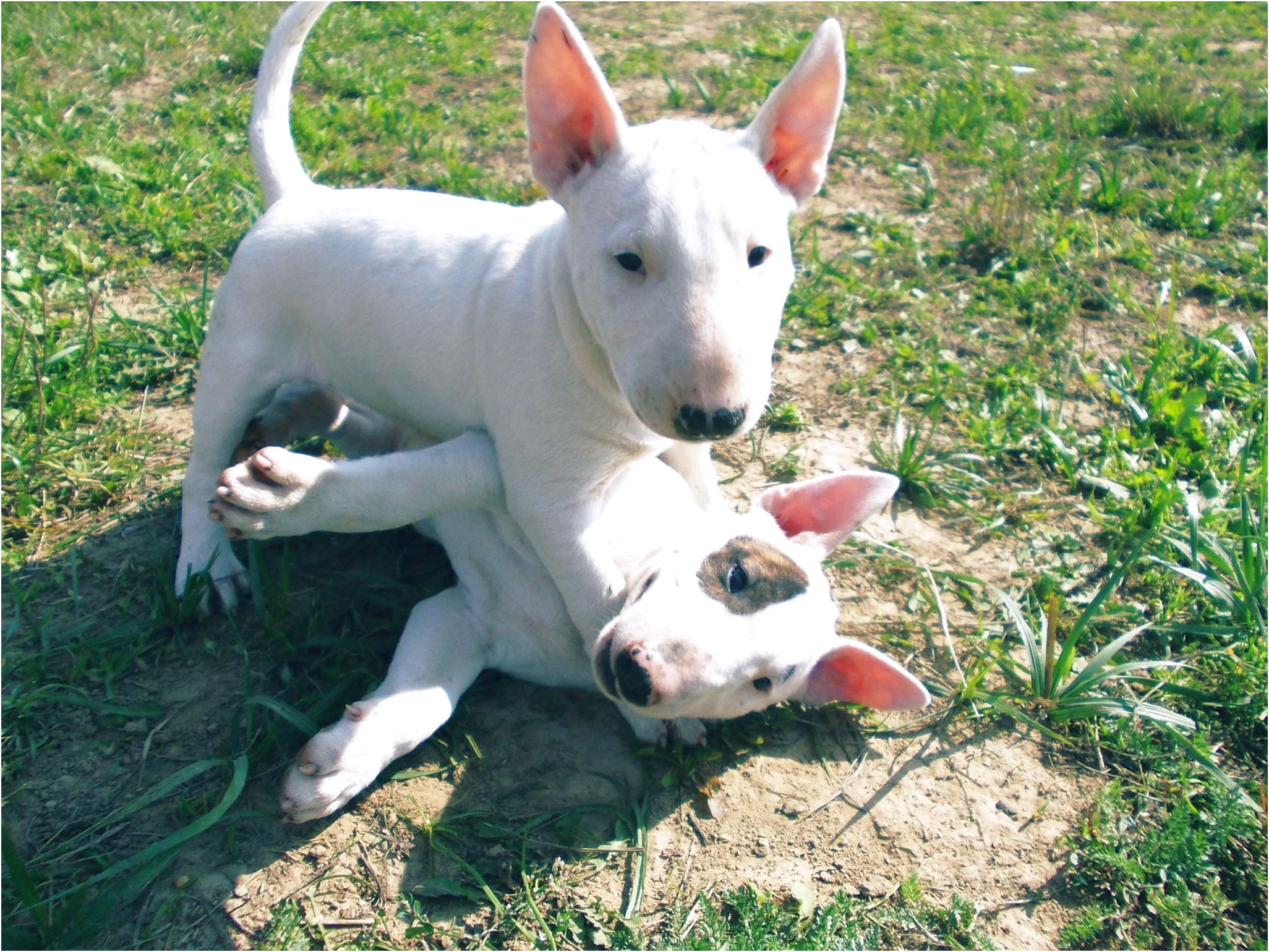 bull terrier puppies for sale orange county ca