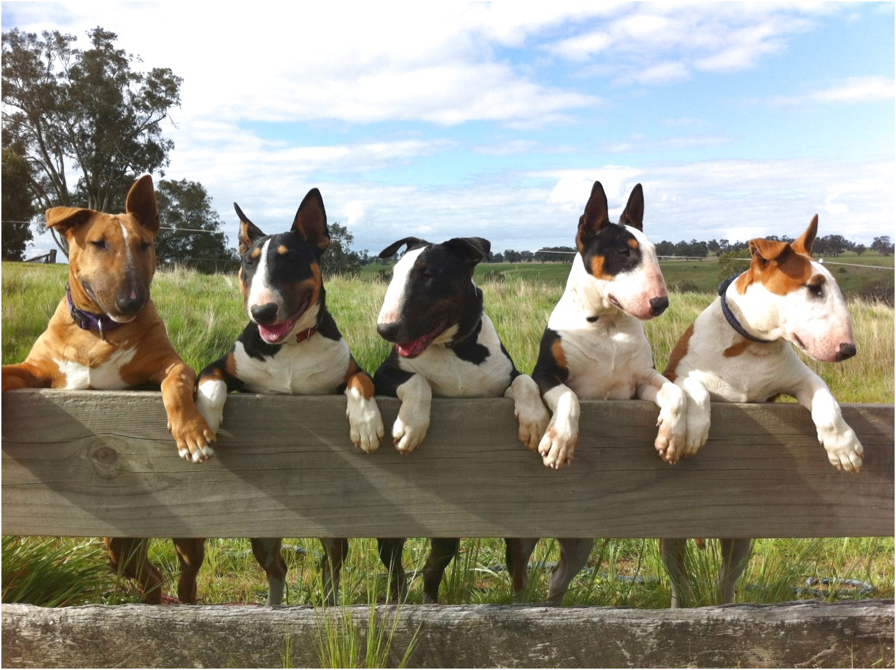 bull terrier puppies for sale victoria